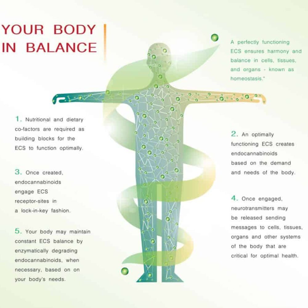 your body in balance is the human endocannabinoid system,effect on body,vector infographic on white background.